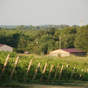 The Homeplace Vineyard in Chatam, Virginia